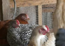 How to Reduce the Cost of Feeding Your Chickens by Utilizing the Available Resources at Your Disposal