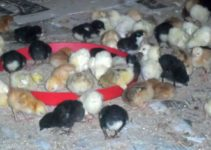 How to Successfully Brood Noiler Chicks