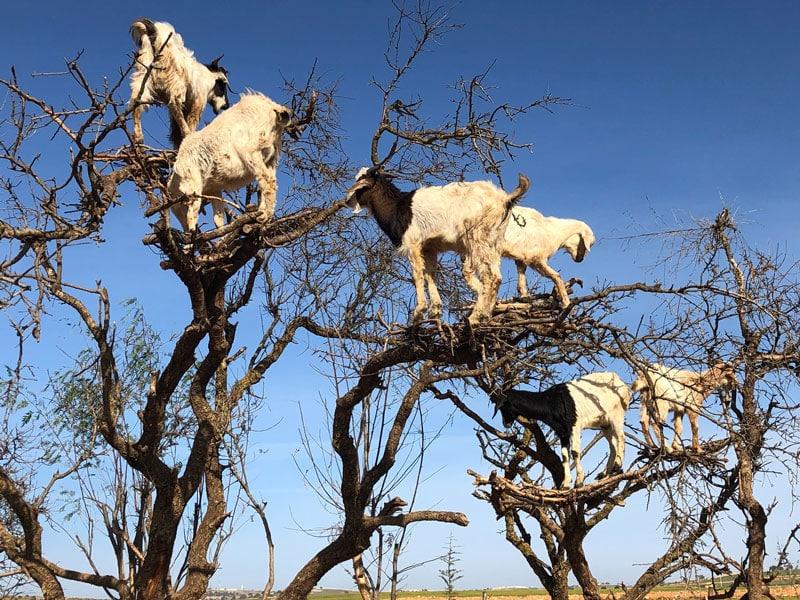 goats love freedom