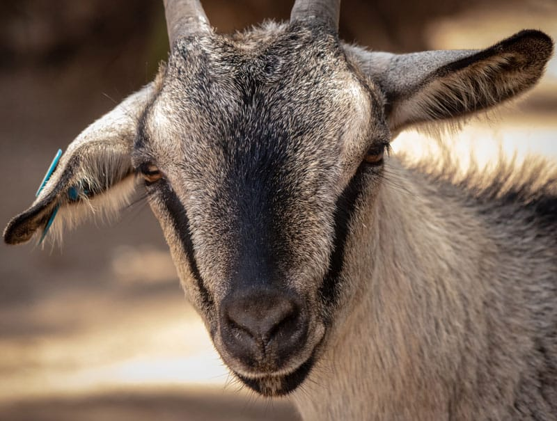Healthy goats
