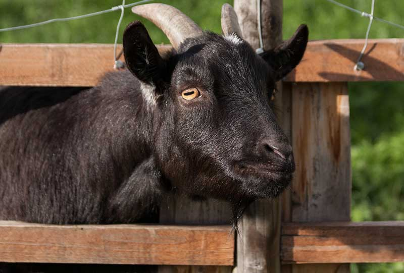 a sturdy fence for goats
