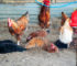 Dust Bath Why Your Chickens Need This All-Important Ritual